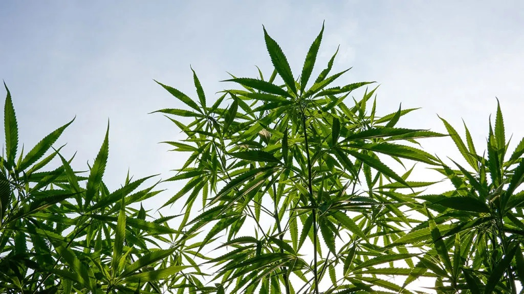 5 Ways to Properly Use Hemp Oil for Better Results